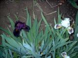 Iris 2009 601.jpg