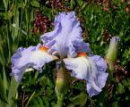 Iris Princesse Caroline de Monaco 25.5.10.jpg