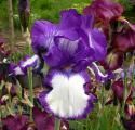 Iris Superstition 25.5.10.jpg
