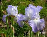Iris Altruist 25.5.10.jpg