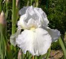 Iris Weiße Unbekannte 25.5.10.jpg