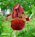 Iris Unbekannte Braune Self 27.5.10.jpg