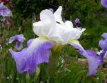 Iris Unbekannte blauen Amoena 31.5.10.jpg