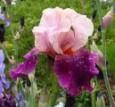Iris Color Splash 31.5.10.jpg