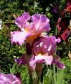 Iris Orchid Prize 4.6.10.jpg