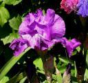 Iris Gondolier 4.6.10.jpg