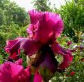 Iris Merlot  9.6.10.jpg