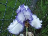 Iris barb. elat. 'Orinoko Flow'_49561.jpg