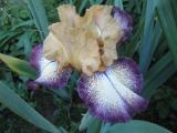 Iris barb. elat. 'Tennessee Gentleman'_49551.jpg