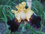 Iris barb. elat. 'La Vigilante'_49411.jpg