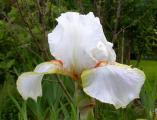 Iris Halloween Halo 16.5.12.jpg
