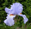 Iris Princesse Caroline de Monaco 19.5.12.jpg