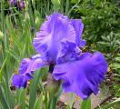 Iris Blenheim Royal 19.5.12.jpg