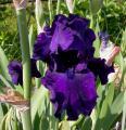 Iris Myrtille 21.5.12.jpg