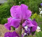 Iris Gondolier 23.5.12.jpg