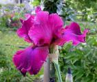 Iris Merlot 26.5.12.jpg