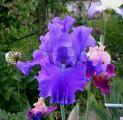 Iris Indigo Princess 26.5.12.jpg