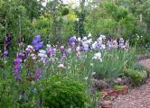 Iris-Beet blau-weiß-rosa-lila 26.5.12.jpg