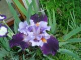 k-Iris nn 2 2012.JPG