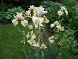 Iris 29.05.12 1.jpg