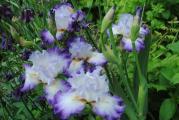 k-iris3 053.jpg