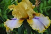 k-iris4 062.jpg