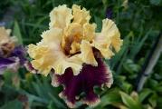 Iris Decadence.JPG