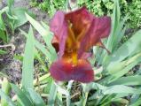 Iris 004.jpg