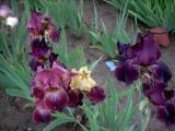 Irisbluete2008 243.jpg
