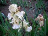 Irisbluete2008 241.jpg