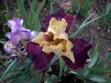 Irisbluete2008 312.jpg