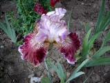 Irisbluete2008 362.jpg