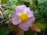 k-Helianthemum Laurenson's Pink.JPG