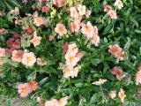 Helianthemum Peach.JPG