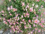 Helianthemum Lawrensons Pink (2).JPG