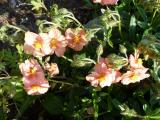 Helianthemum Peach.JPG