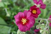 Helianthemum Hartswood Ruby (3).JPG