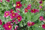 Helianthemum Hartswood Ruby.JPG