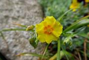 Helianthemum Golden Queen.JPG