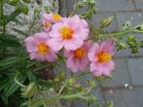 Helianthemum Lawrensons Pink (2).JPG