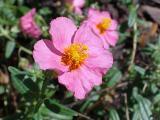 sonnenroeschen rosa 07.jpg