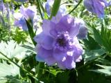 Delphinium Blueberry Pie.JPG