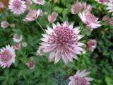 k-Astrantia major Roma.JPG