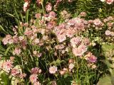 Astrantia buckland1.jpg