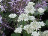 Astrantia M. Fish mit Allium.JPG