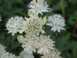 Astrantia  Margery Fish.JPG