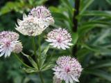 Astrantia major Sunningdale Variegated.JPG