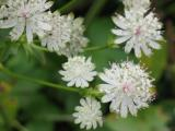 Astrantia major alba.JPG