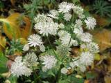 Astrantia major alba (2).JPG