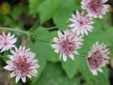 Astrantia major Roma.JPG